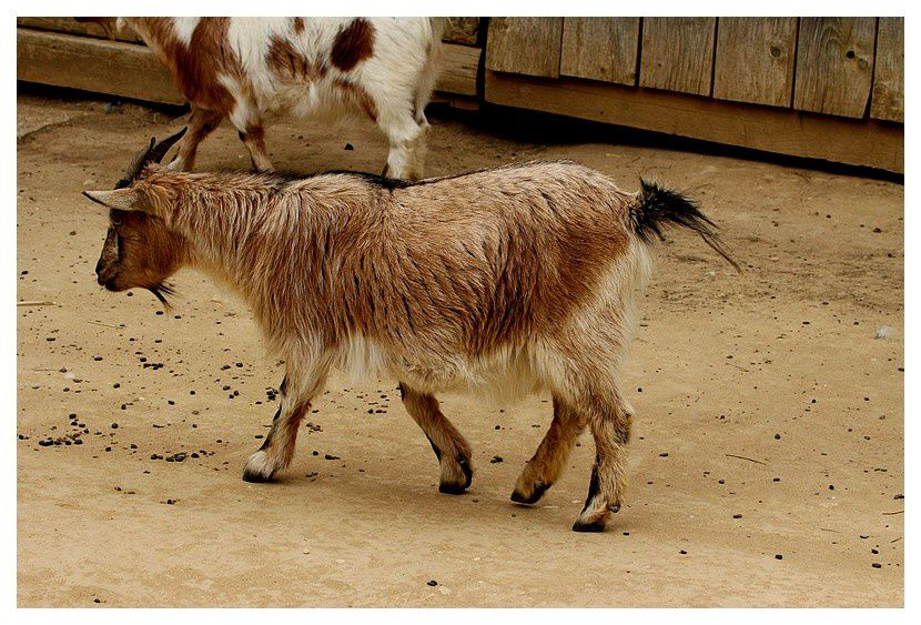 chèvre naine ... Capra aegagrus hircus