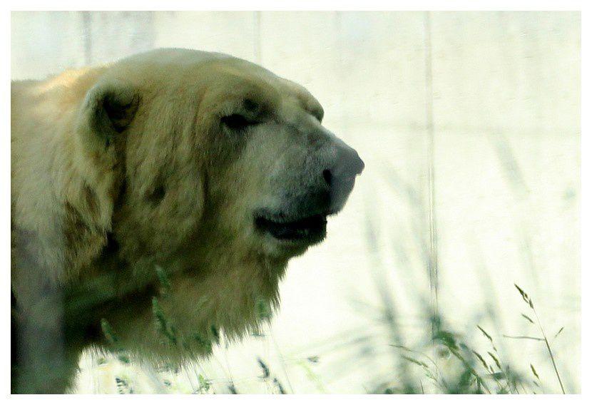 """ours polaire ... mais je suis d'accord avec une pétition de """"mesopinions.com"""" que les ours polaires ne doivent pas être détenus dans des pays chauds, beaucoup trop chauds pour eux ... fusse en Ardèche ... il ne leurs faudrait, pas plus de 10° !!! et celui pour lequel il y a une pétition est enfermé au maryland d'Antibes où la température dépasse souvent 30° !"""