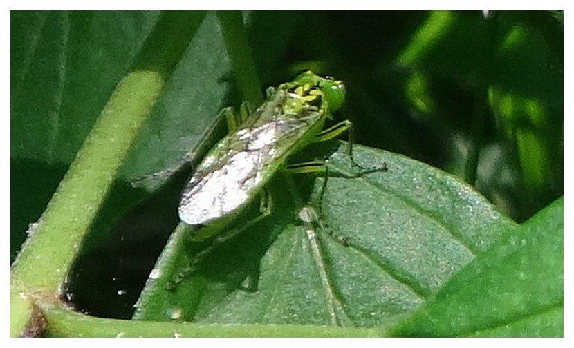 tenthrède verte ... Rhogogaster viridis; ordre des hyménoptères, Famille des Tenthrédinidés