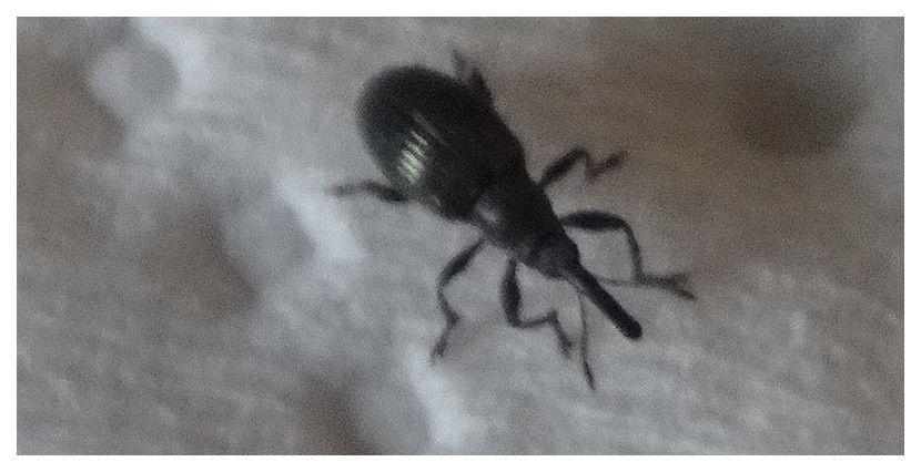 Aspidapion sp. ; Ordre des Coléoptères; Famille des apionidés