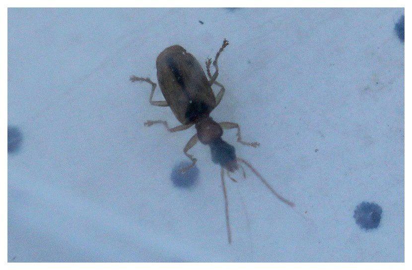 carabe ... Demetrias atricapillus, ordre des coléoptères, famille des carabidés
