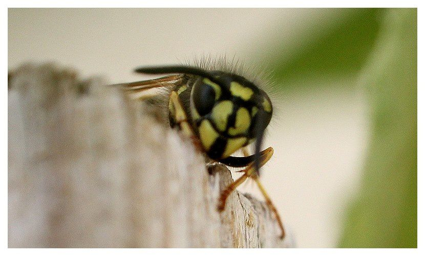 guêpe commune Vespula vulgaris; famille des vespidés     12 mm
