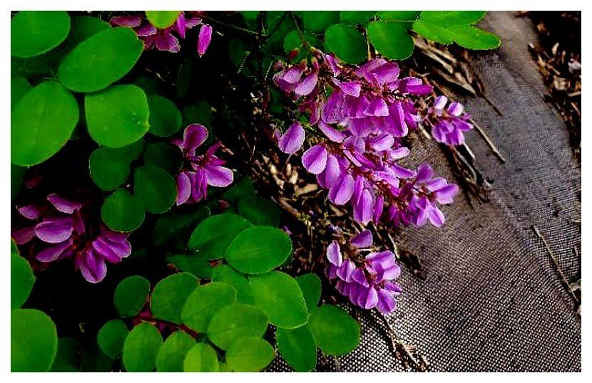 acacia rose ou robinier ... Robinia hispida; famille des Fabacées