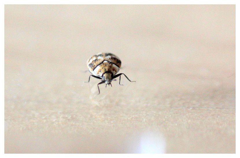anthrène bigarré des tapis; coléoptère