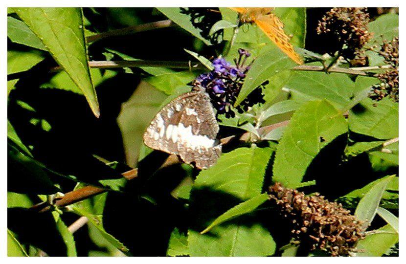 le silene ... Brintesia circe;  famille des Nymphalidés       ailes fermées, ailes ouvertes