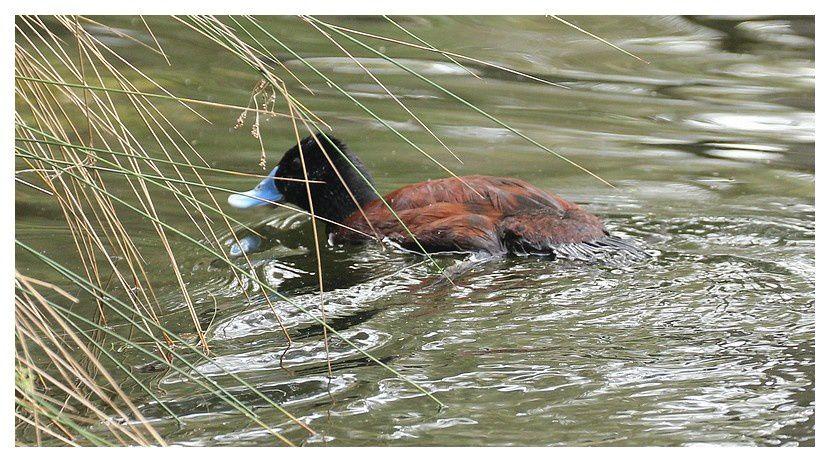 faune d'Australie : oiseaux  -1- Perth