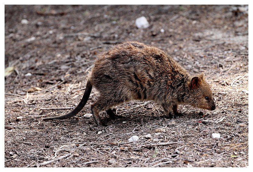faune d'Australie : Rottness Island
