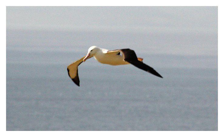 Albatros royal du Sud
