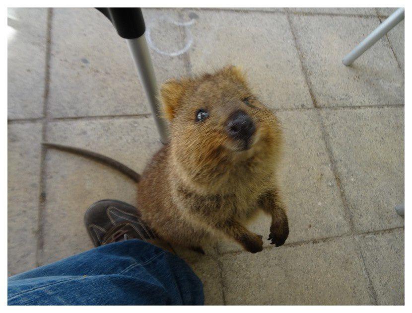 faune d'Australie : mammifères marsupiaux