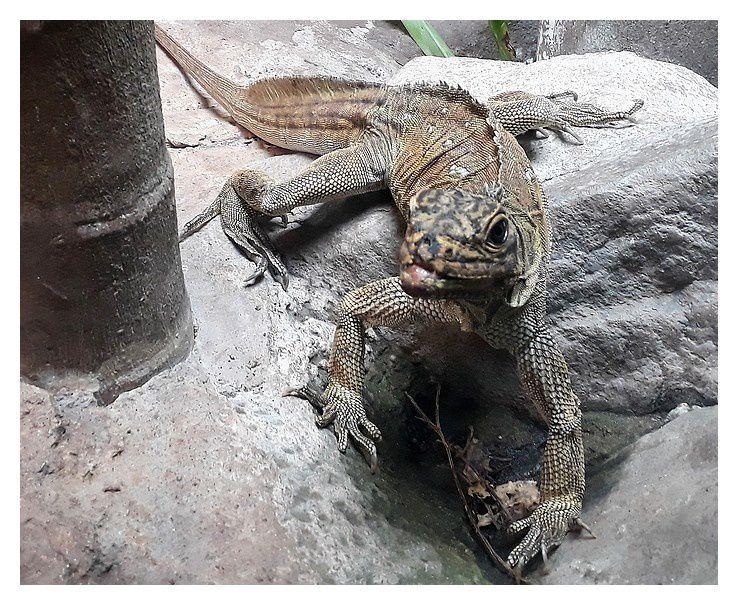 faune d'Australie/Nouvelle Zélande/Nouvelle Caledonie : reptiles 1
