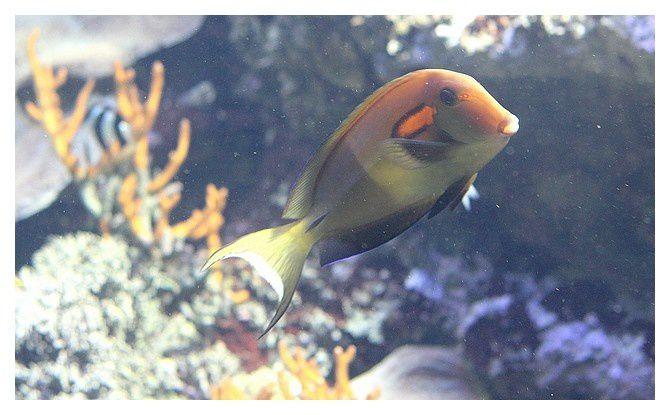 poisson chirurgien olive ... Acanthurus olivaceus; classe des actinoptérygiens, ordre des perciformes, famille des acanthuridés
