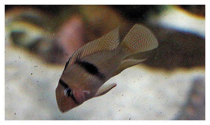 cichlidé : acara à selle ... Guianacara geayi; classe des actinoptérygiens, ordre des perciformes, famille des cichlidés