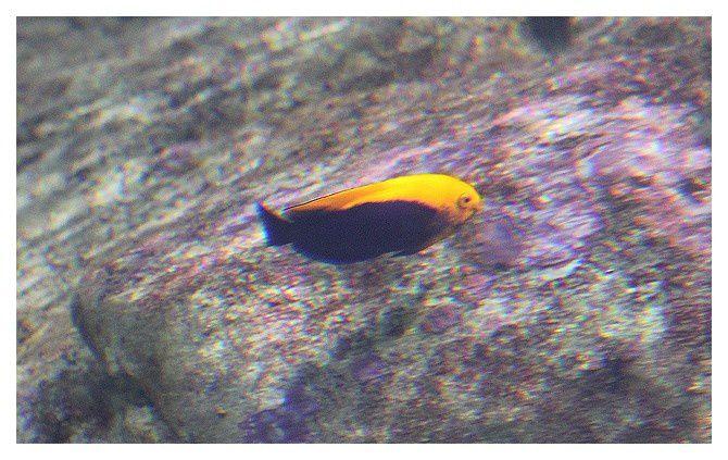 Poisson ange nain à dos jaune ... Centropyge aurantonotus; classe des actinoptérygiens, ordre des perciformes, famille des pomacanthidés