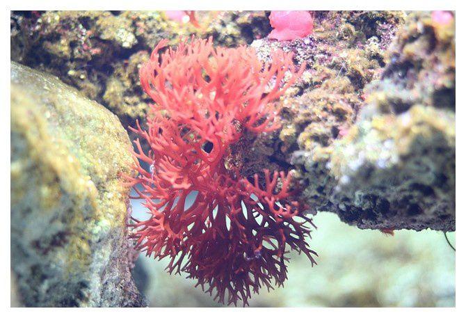 Corail rouge ... Corallium rubrum ; Classedes Anthozoaires, Ordre des Alcyonacés, Famille des  corallidés