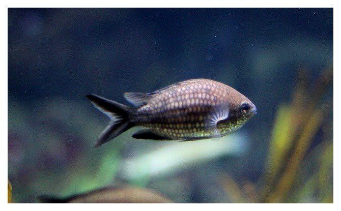 castagnole, castagnole noire, petite castagnole ou demoiselle bleue ... Chromis chromis; classe des actinoptérygiens, ordre des perciformes, famille des pomacentridés