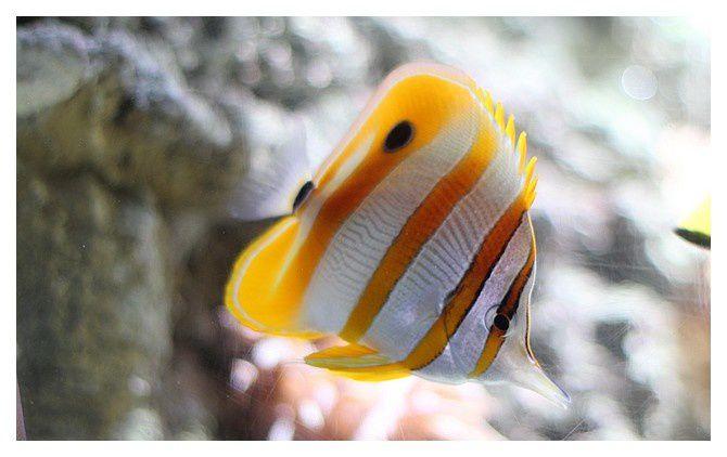 poisson papillon à bec médiocre ou Chelmon à bec médiocre ... Chelmon rostratus; classe des actinoptérygiens, ordre des perciformes, famille des Chaetodontidés