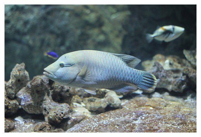 poisson napoléon  ou labre napoléon ... Cheilinus undulatus ; classe des actinoptérygiens, ordre des perciformes, famille des labridés