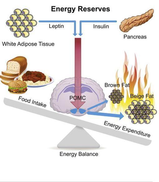 De la graisse pour brûler des calories ? (partie 1)