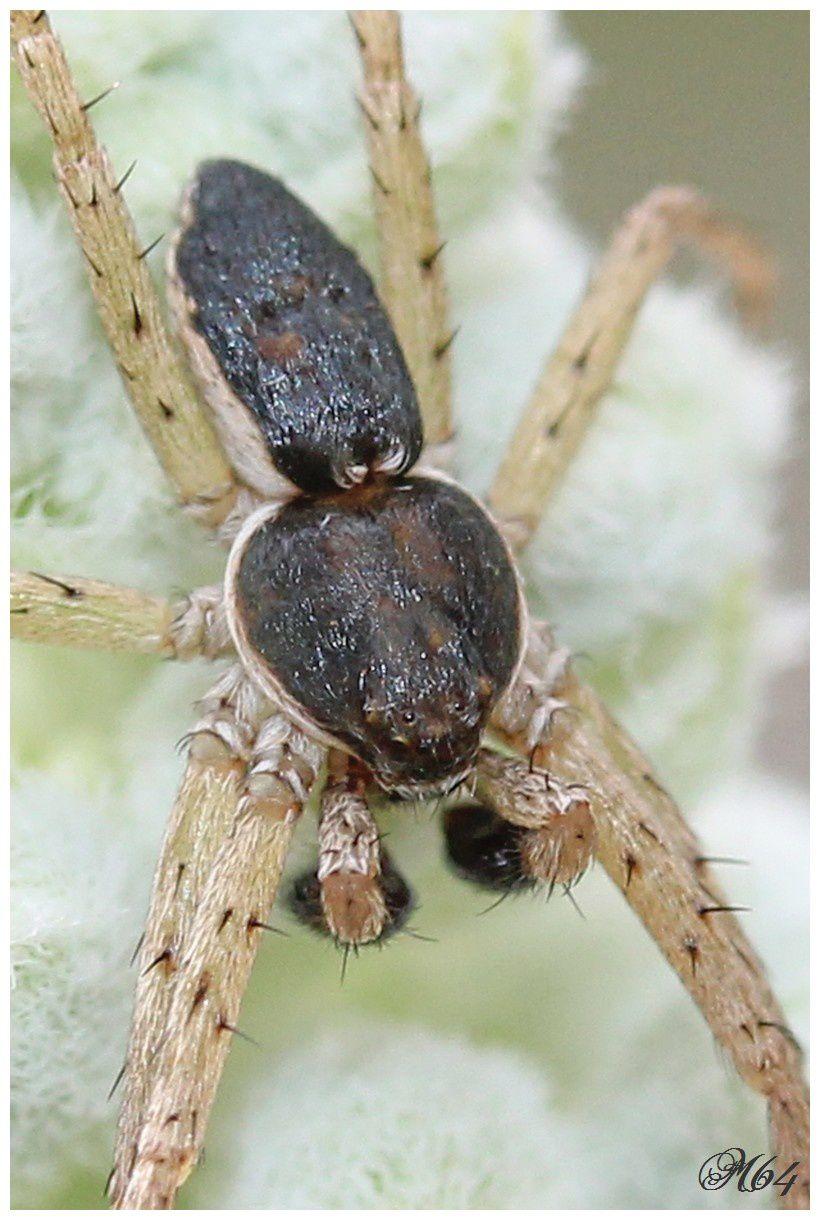 Le philodromus dispar (araignée crabe)