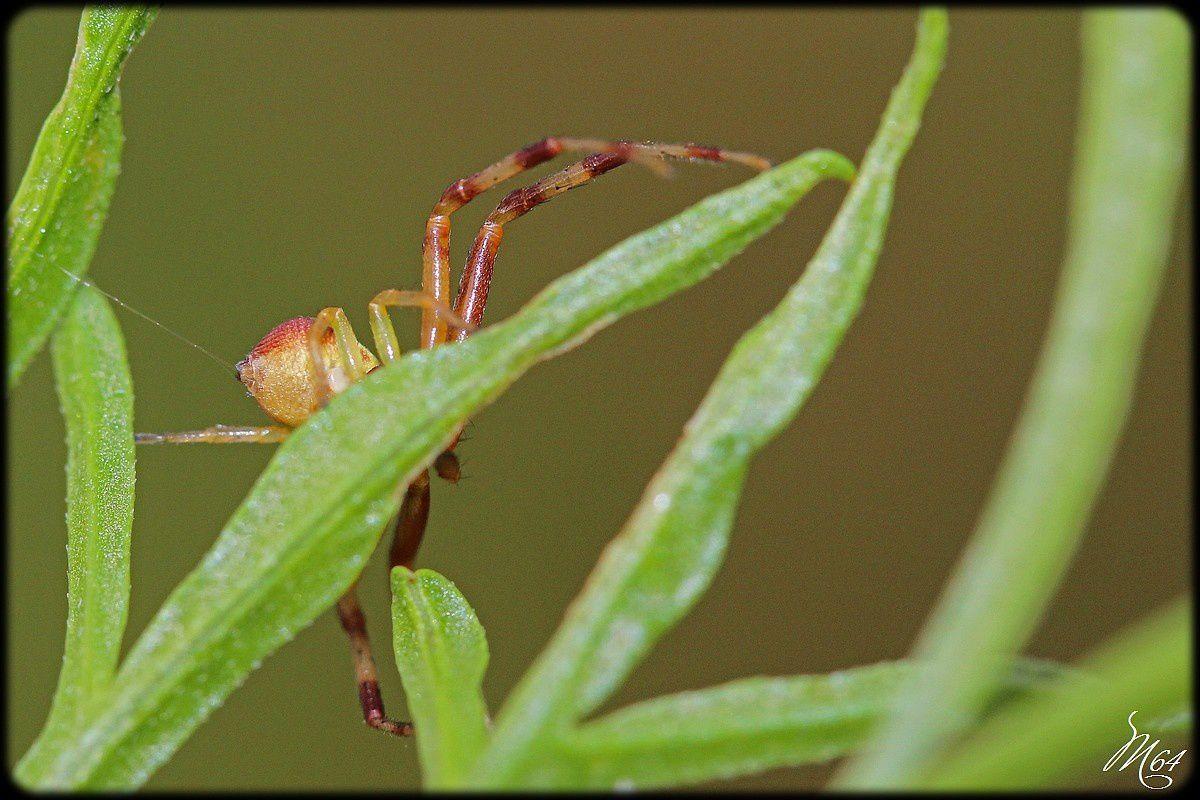 Araignée crabe : Ebretchella
