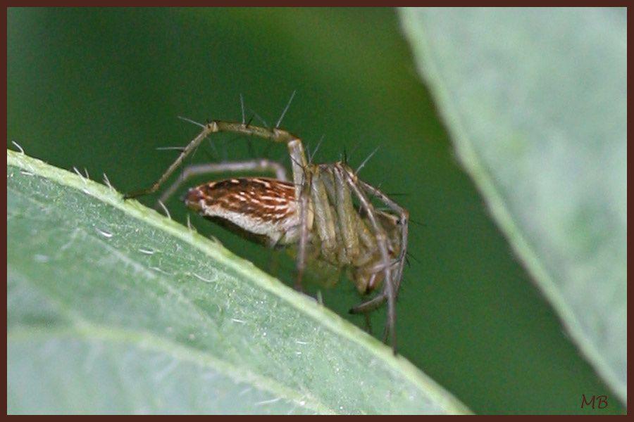 Araignée : Oxyope ou Araignée-lynx