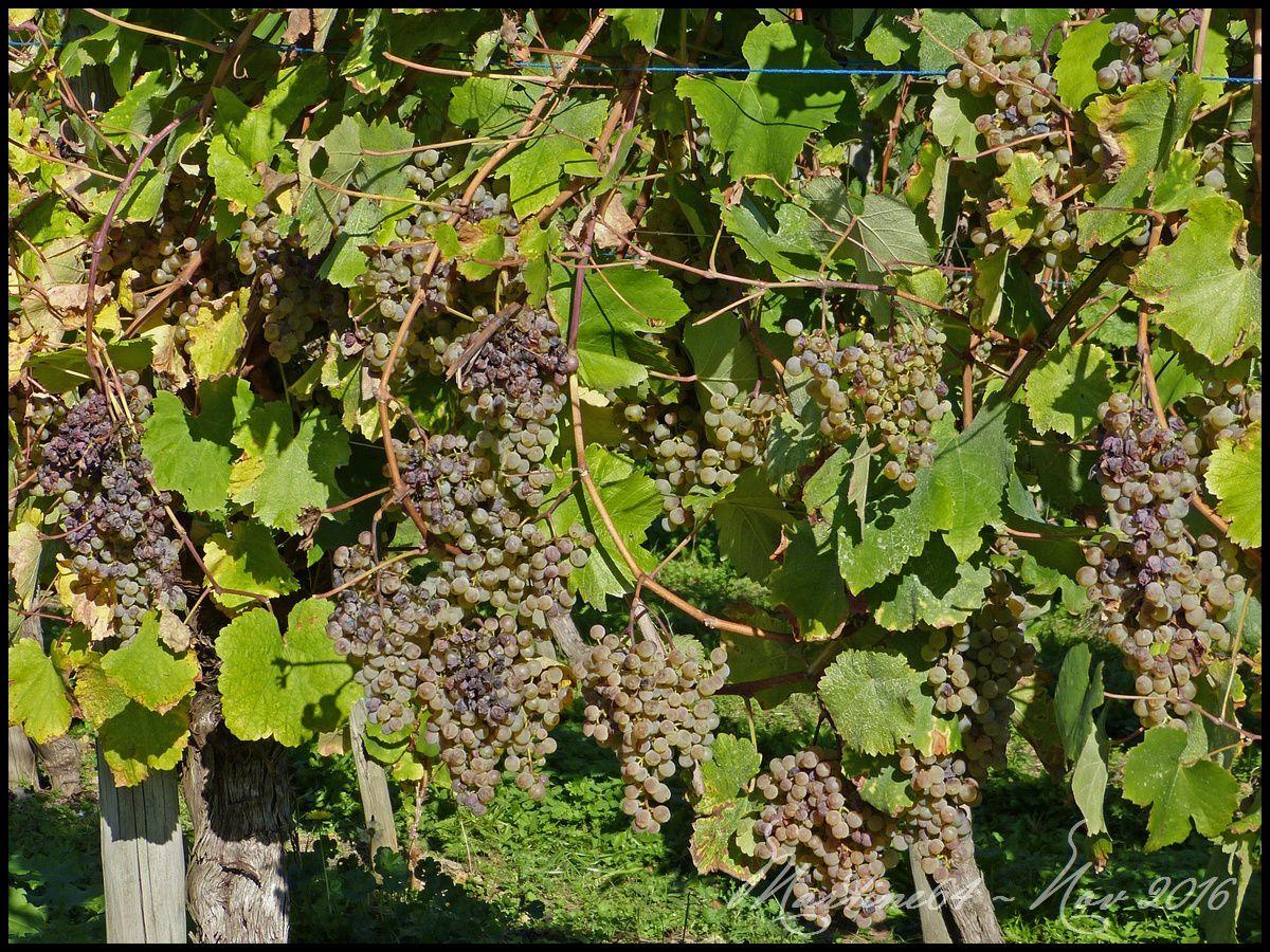 Belles grappes de raisin.