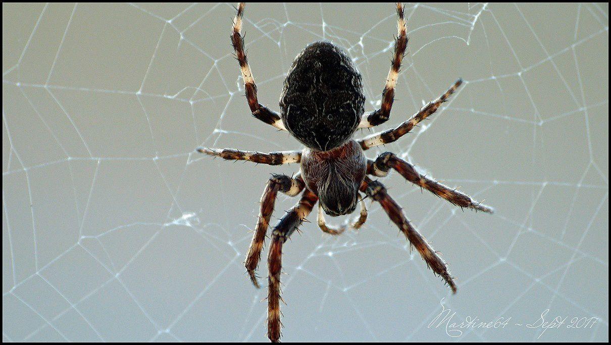 Canada - Araignée : Larinioides sclopetarius