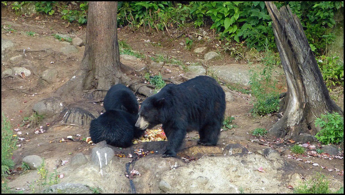 Canada : les ours noirs