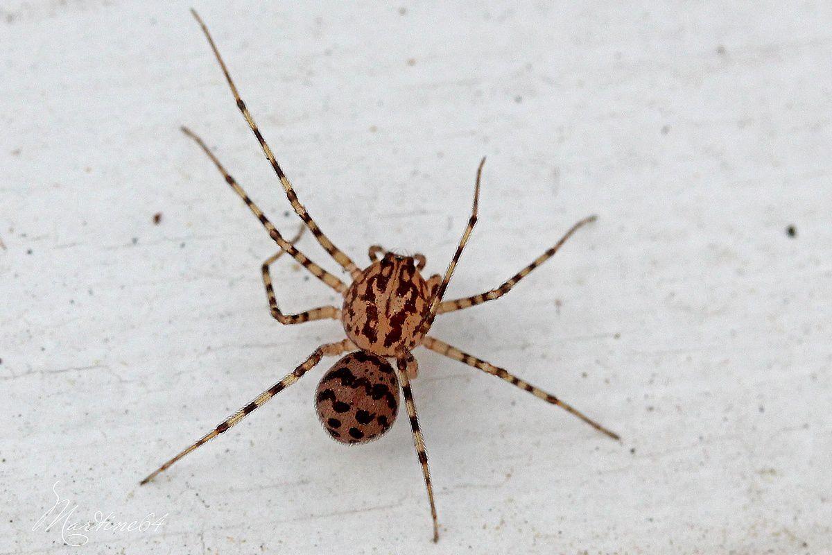 Araignée : Scytodes thoracica