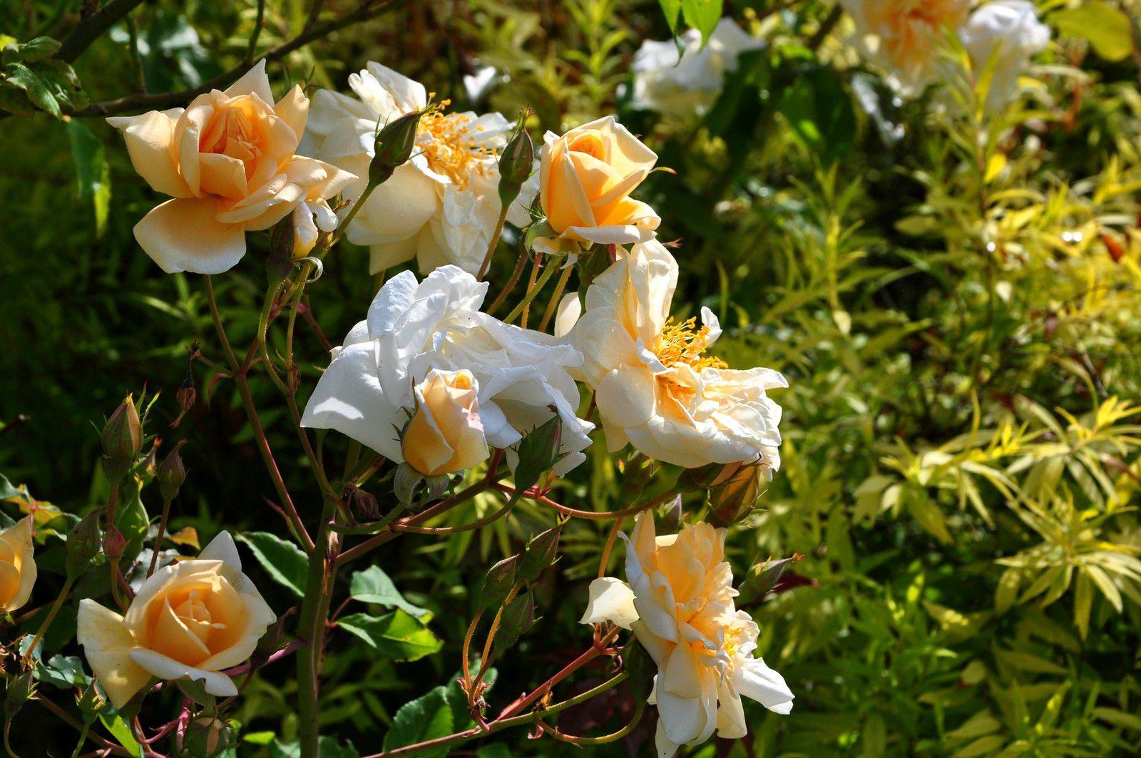 Nous étions là où naissent des roses, la pépinière Mela Rosa