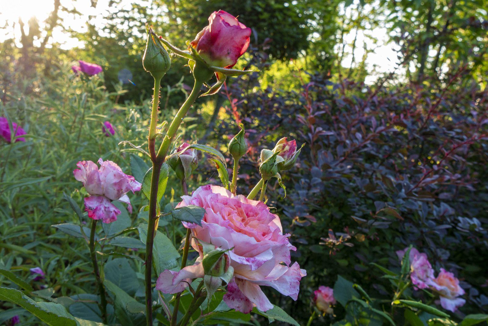Un peu de vie en roses