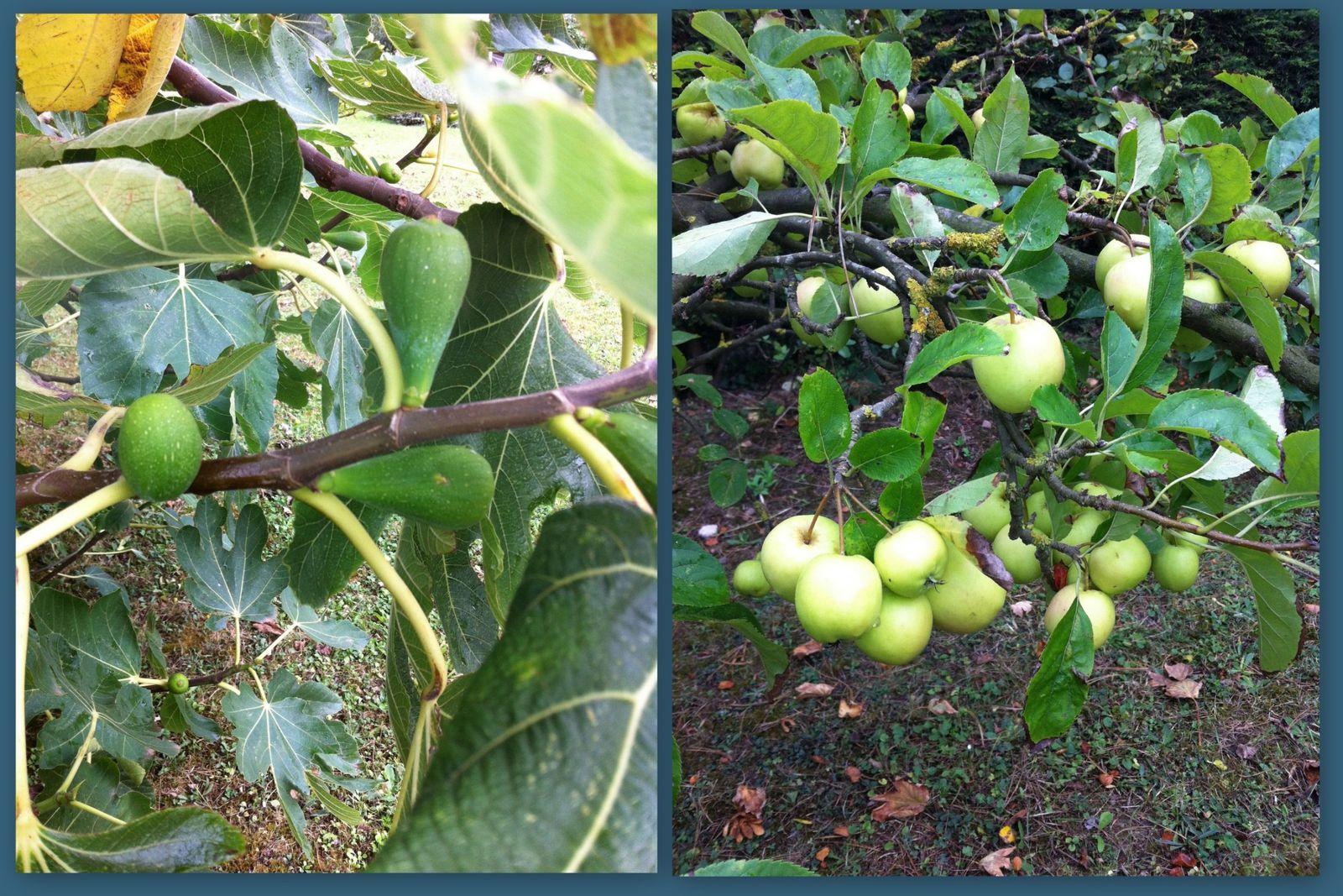 Les figues & pommes .. en décembre !