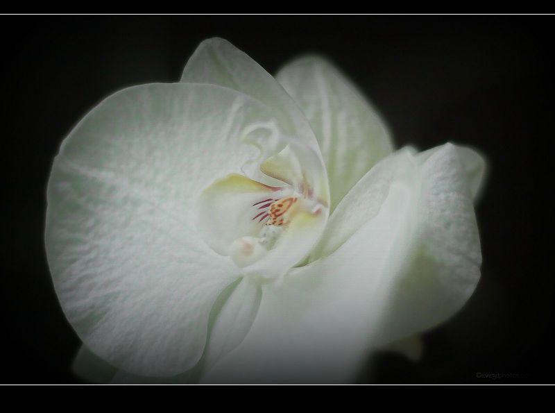 """Orchidée Phalaenopsis """"White Wonder"""""""