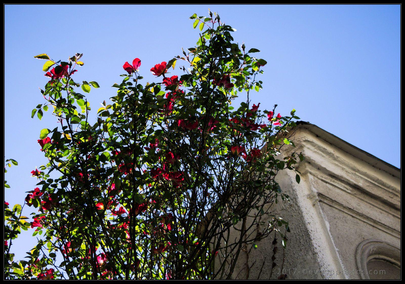 Petites roses en avril..