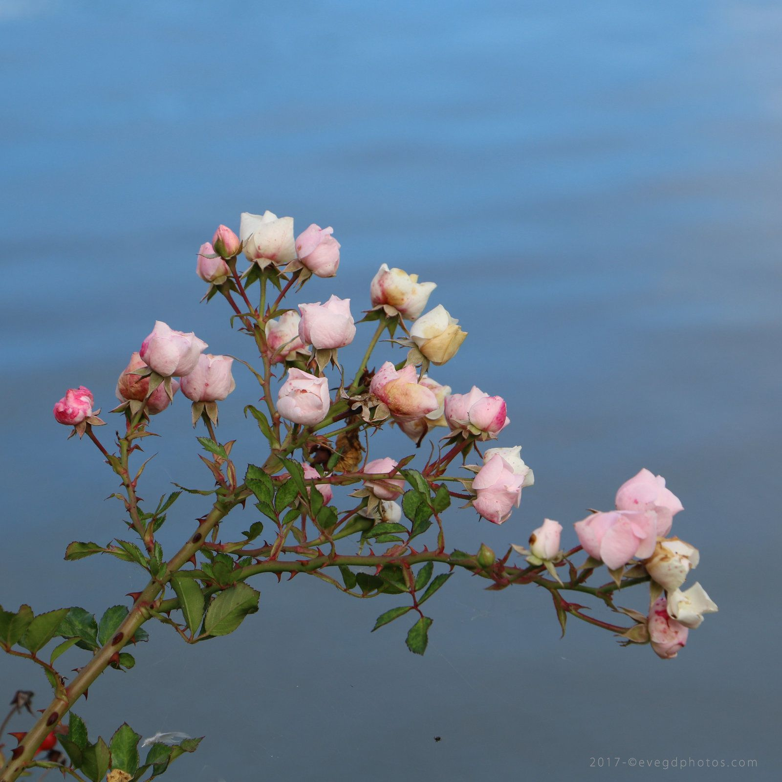 Quand les roses sont roses..