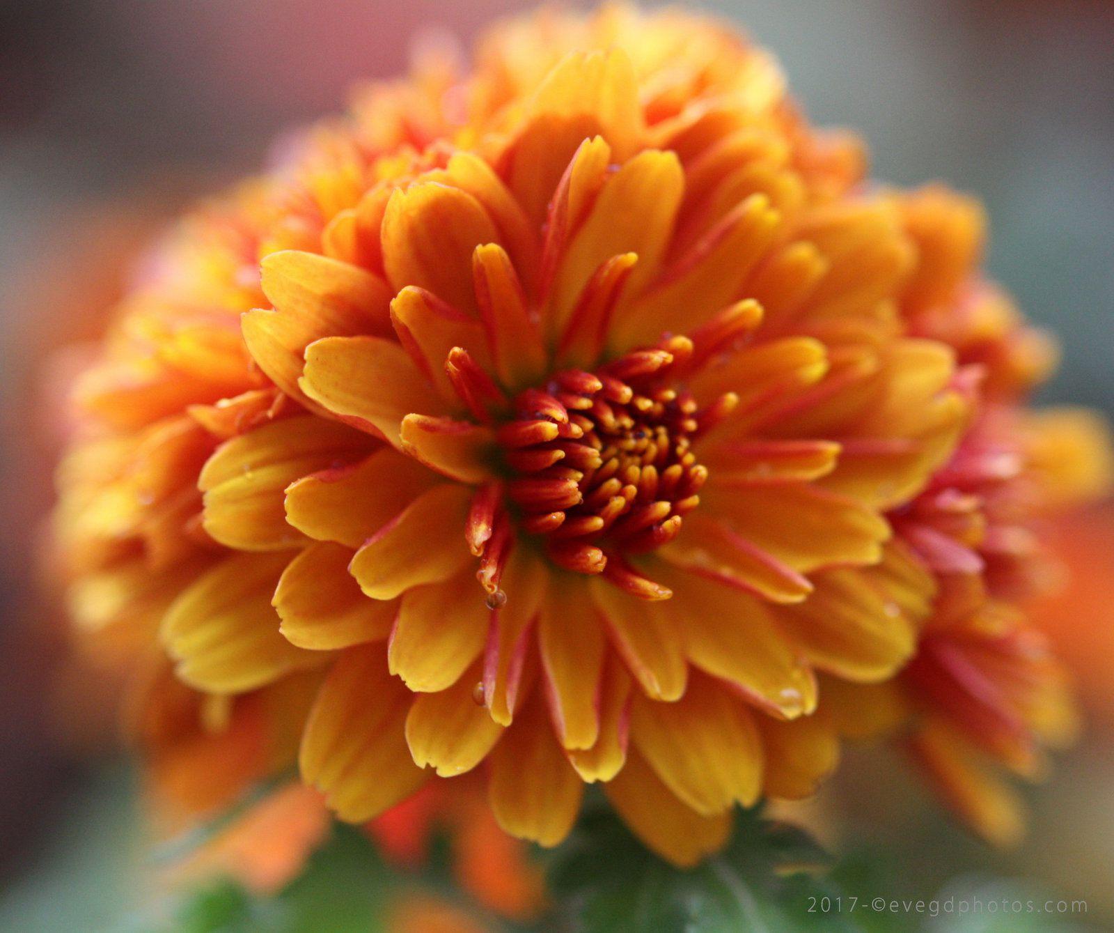 Orange Blossom..