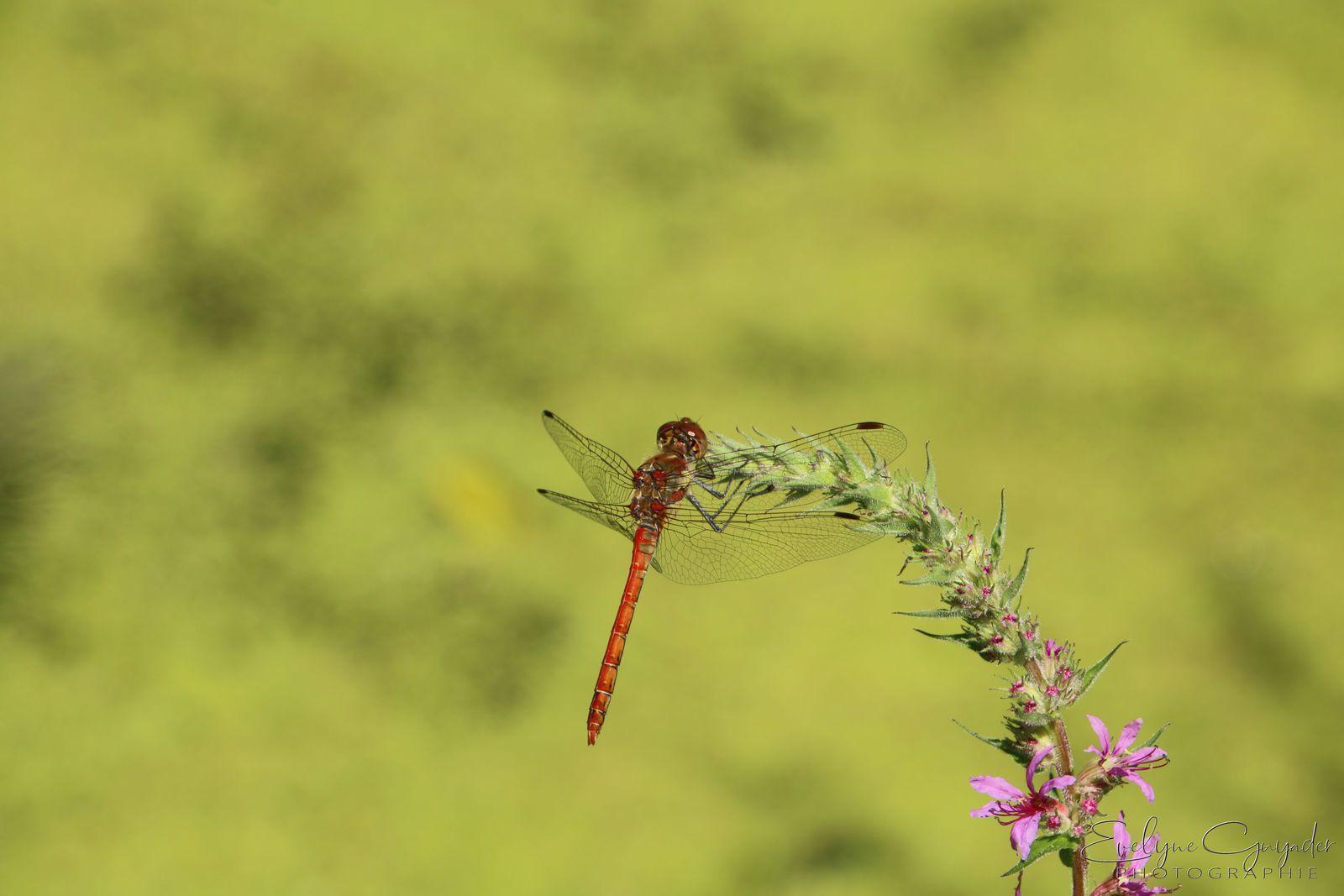 La libellule et la fleur..