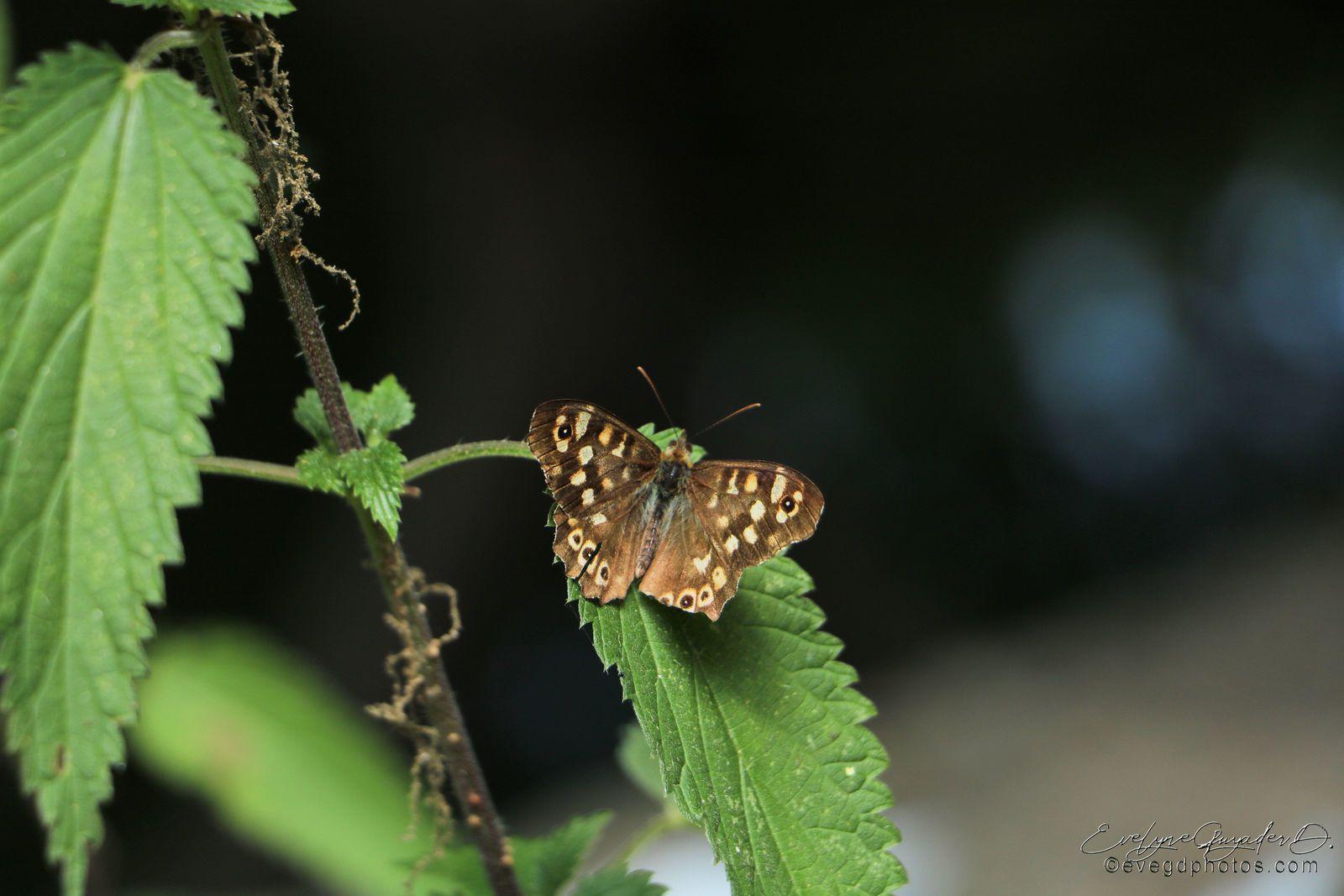 Un papillon que je n'avais encore jamais vu : Apatura ilia (ou Petit mars)