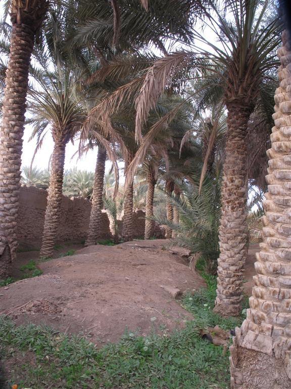 La palmeraie de Dûmat Al-Jandal en Arabie Saoudite