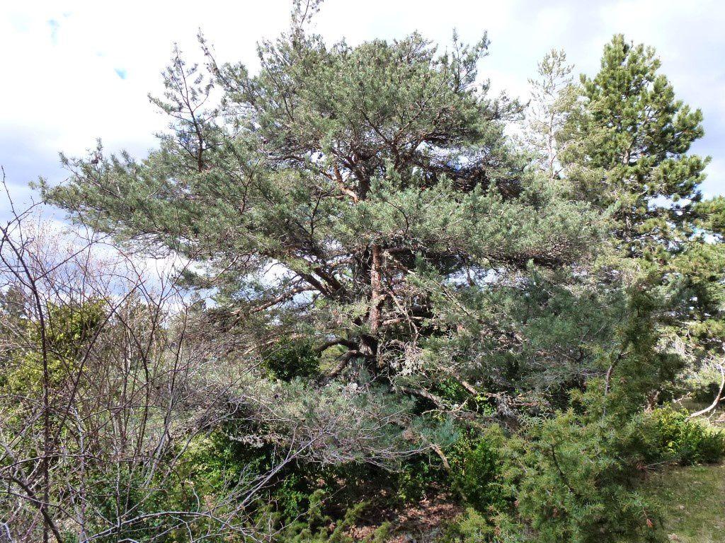 Deux spécimens de pin sylvestre
