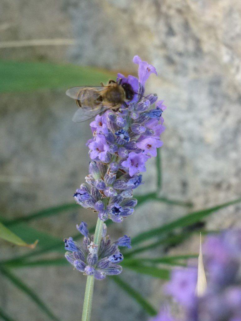 La lavande déjà visitée par une abeille affamée