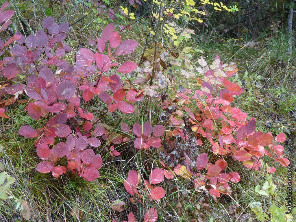 Arbuste Pour Terrain Calcaire l'arbre à perruques, un arbuste fréquent sur terrain