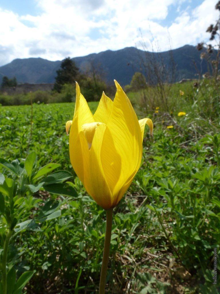 Tulipa sylvestris L.