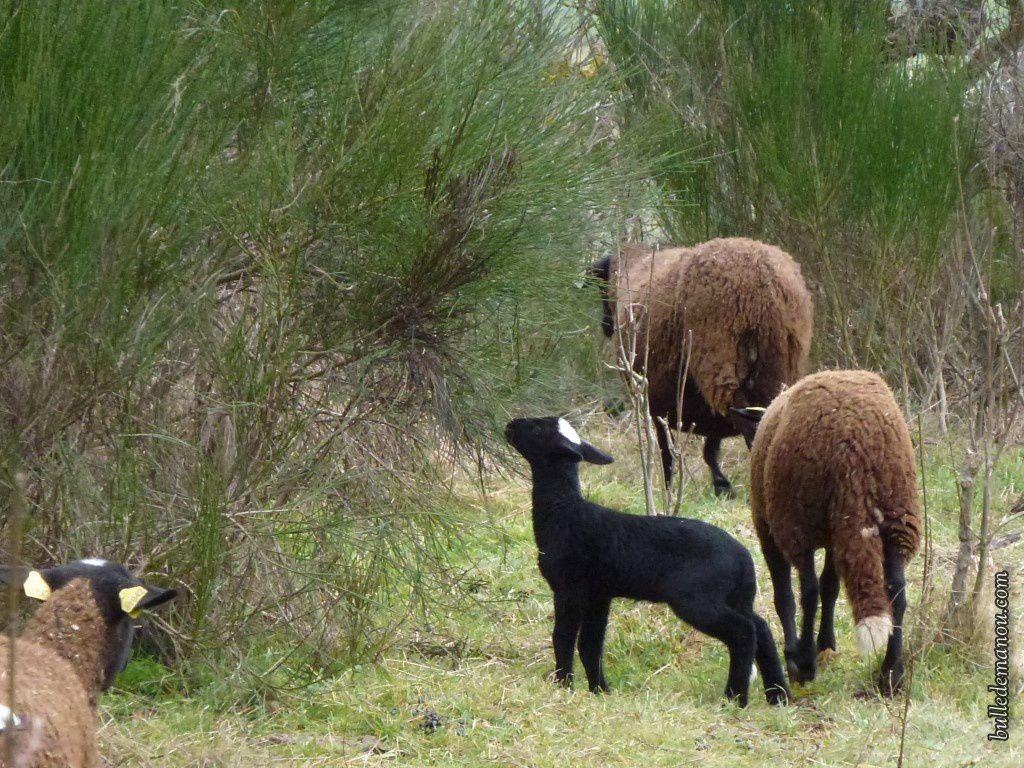 Les brebis dans le pré avec leurs petits...il y avait aussi un bélier mais je n'ai réussi à le capturer !