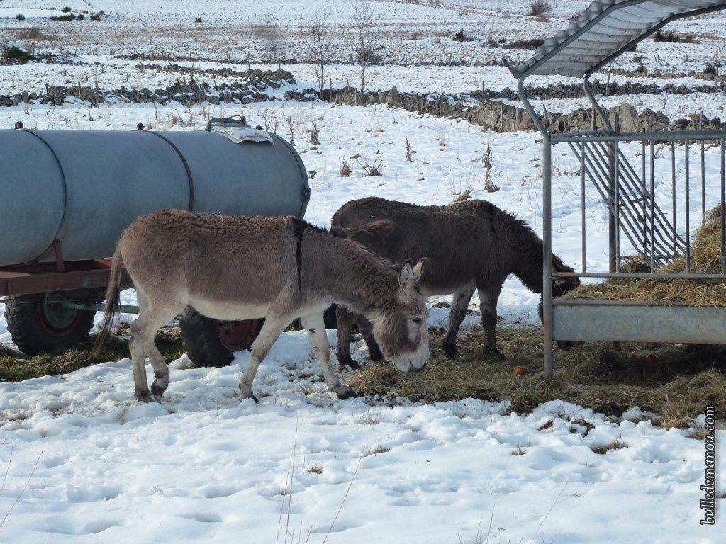 Les ânes de Saint-Jean-Lachalm