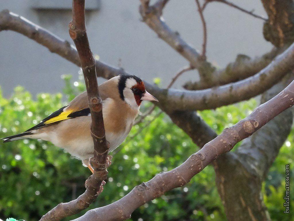 Un chardonneret dans mon jardin...mâle ou femelle ?