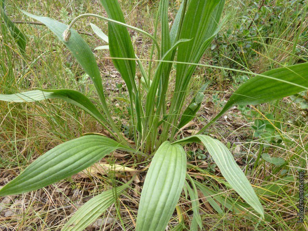 Le plantain lancéolé