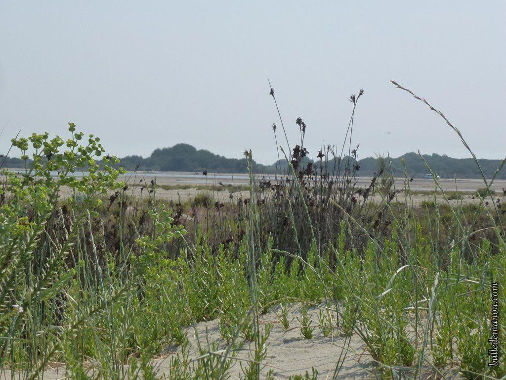 La Laîche des sables derrière un parterre verdoyant formé par les euphorbes et le chiendent des sables