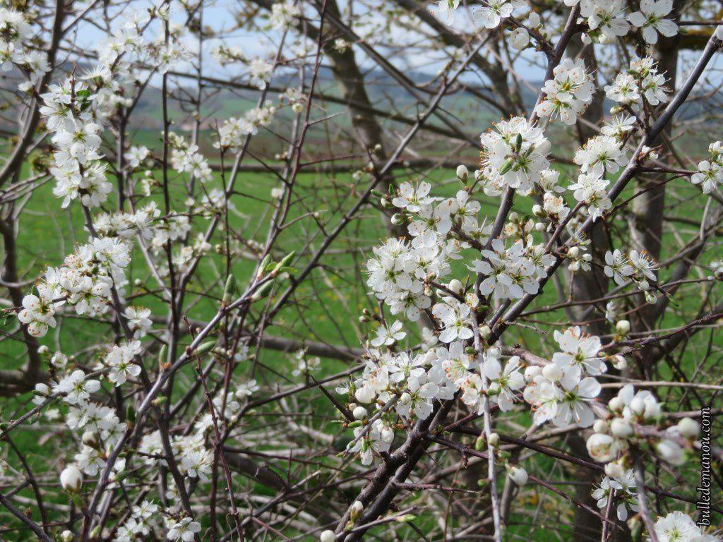 Des prunelliers en fleurs