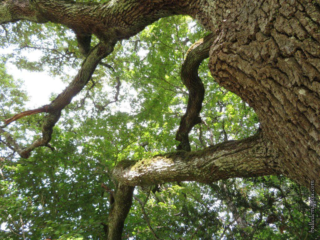 Le vieux chêne...